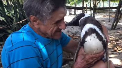 A Heart-Warming Story: This Penguin Swims 8,000 Km Every Year To Meet His Human Friend
