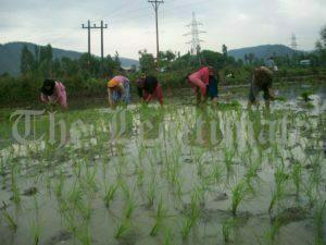 As Farming Picks Up, Kashmir Fields Echo With Folk Songs