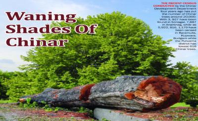 Waning Shades Of Chinar
