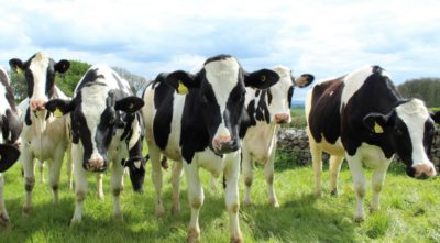 Qatari Business Tycoon To Fly 4000 Cows To Beat Saudi Blockade
