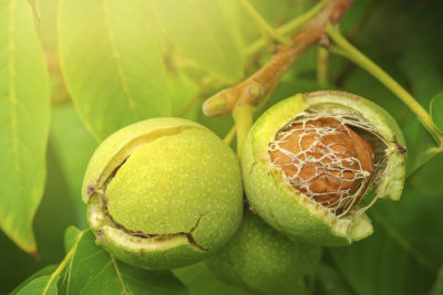 SKAUST (K) To Make India World's Top Walnut Producer