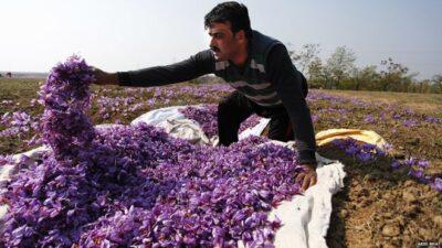 In Next Two Decades Kashmir Is Likely To Loose Its Golden Crop